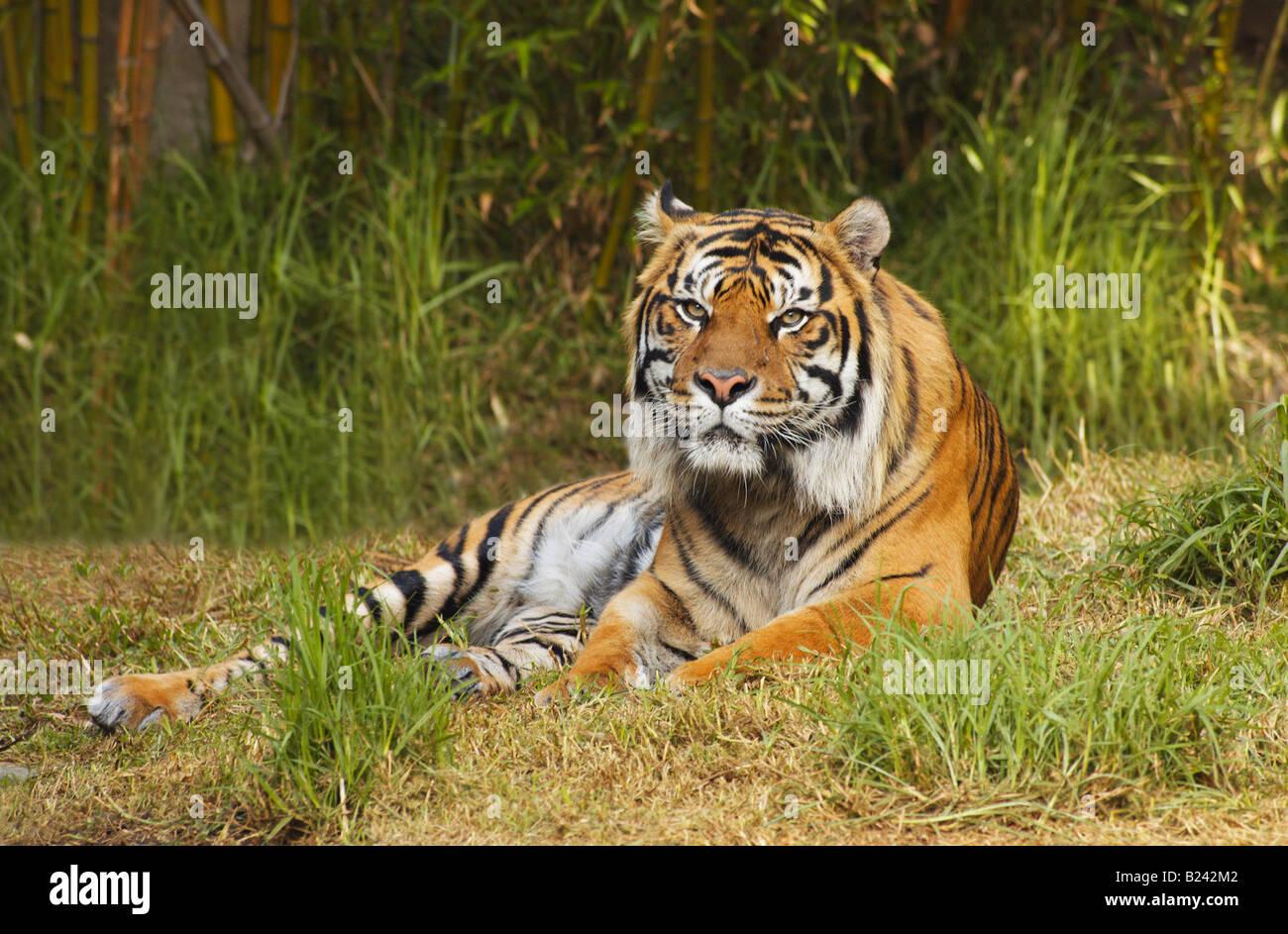 Ein Bengal Tiger Liegt Auf Dem Rasen Vor Bambus Wachstum Direkt Auf