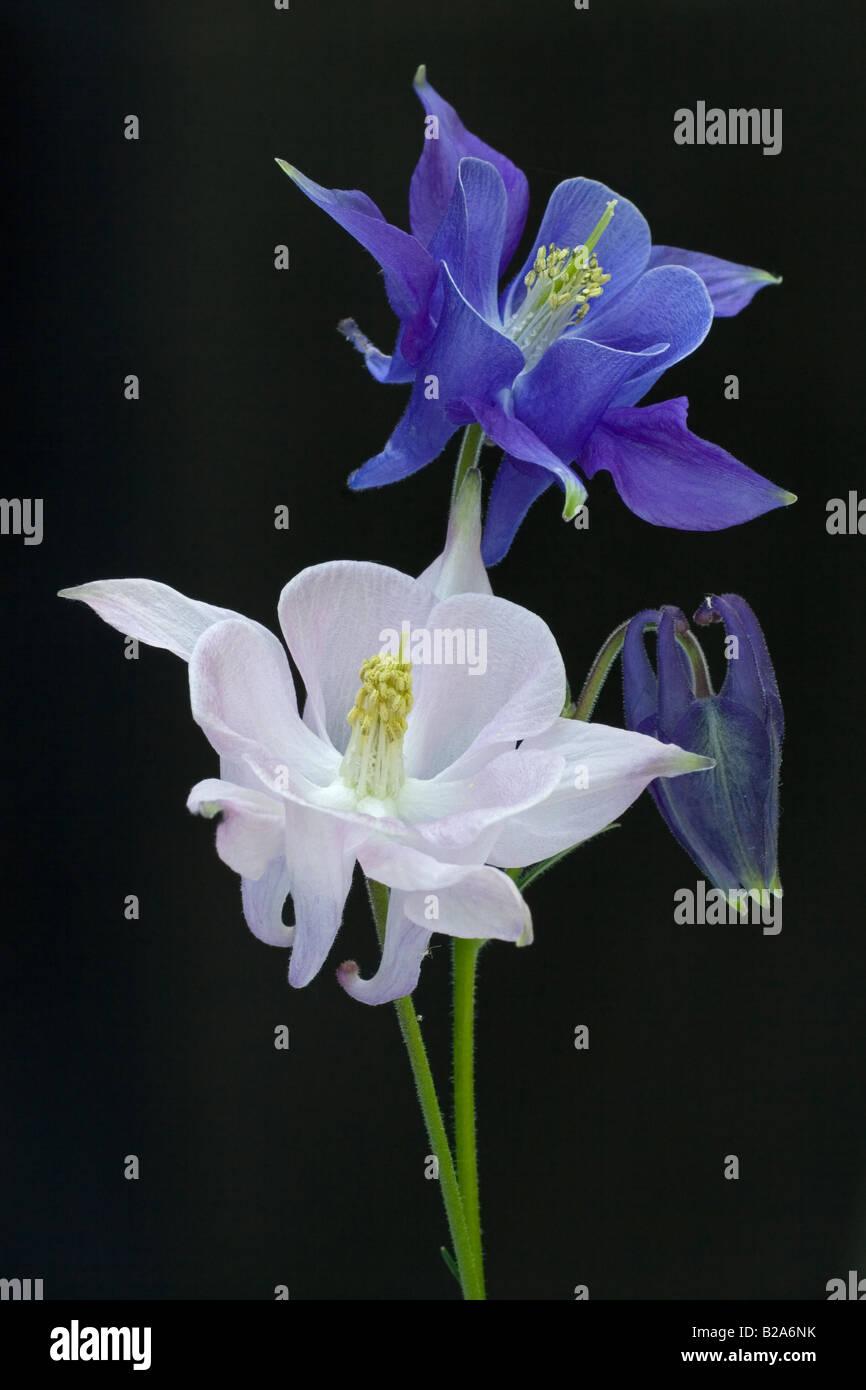 Akelei Lilien isoliert vom Hintergrund Stockbild