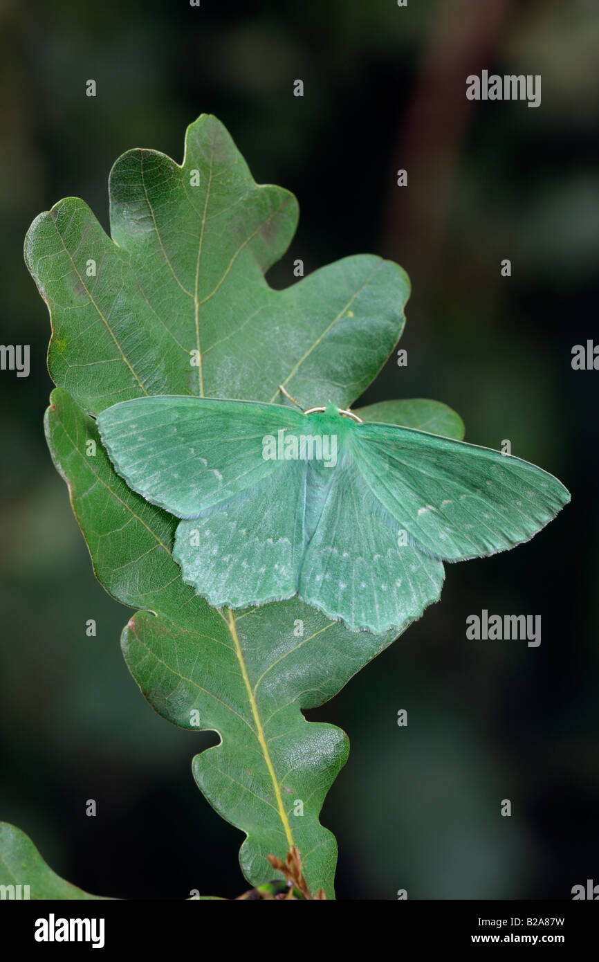 Großer Smaragd Geometra Papilionaria auf Eichenblatt Potton Bedfordshire Stockbild