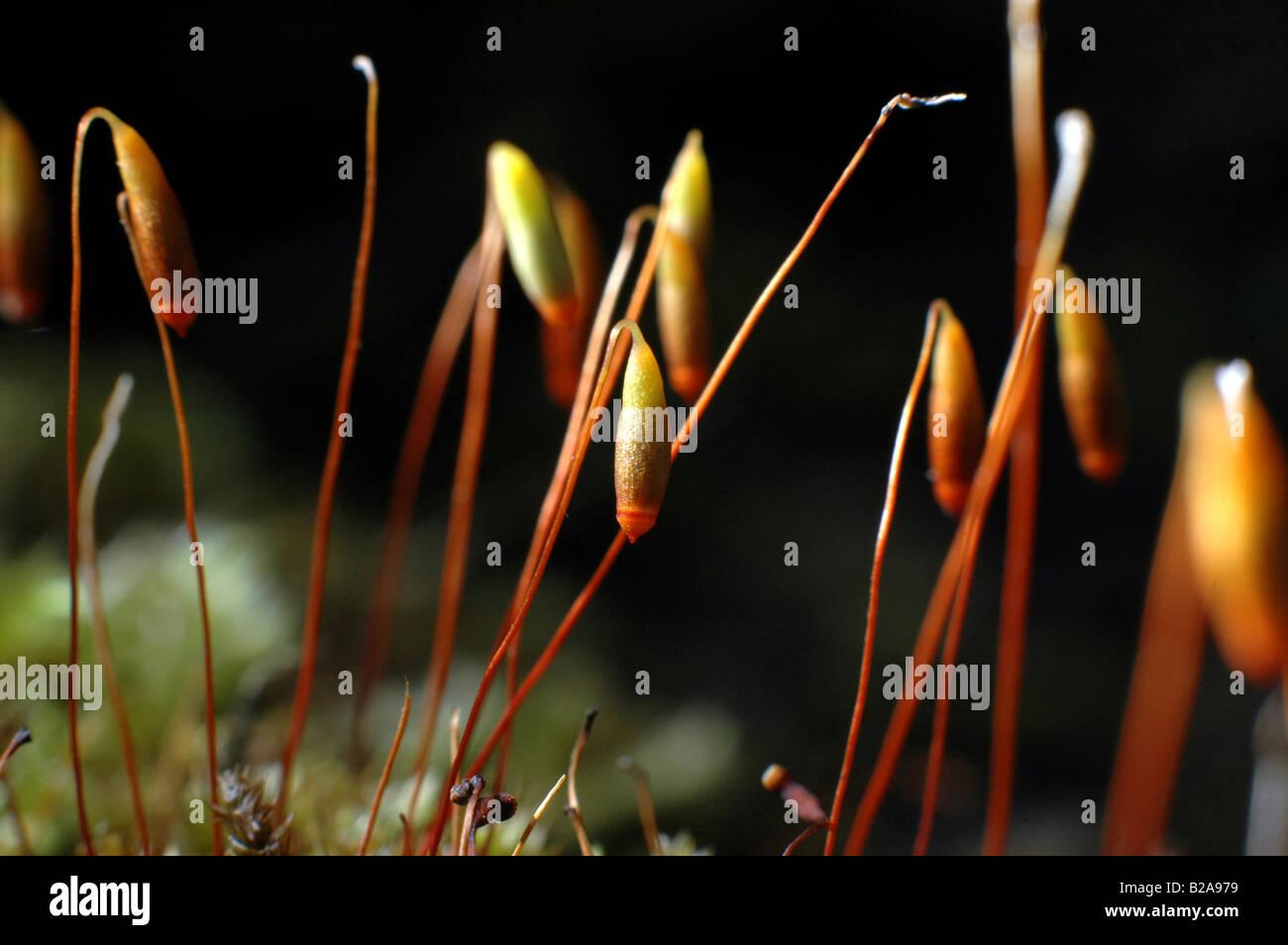 Prächtig Moossporen Stockfotos & Moossporen Bilder - Alamy #YD_66