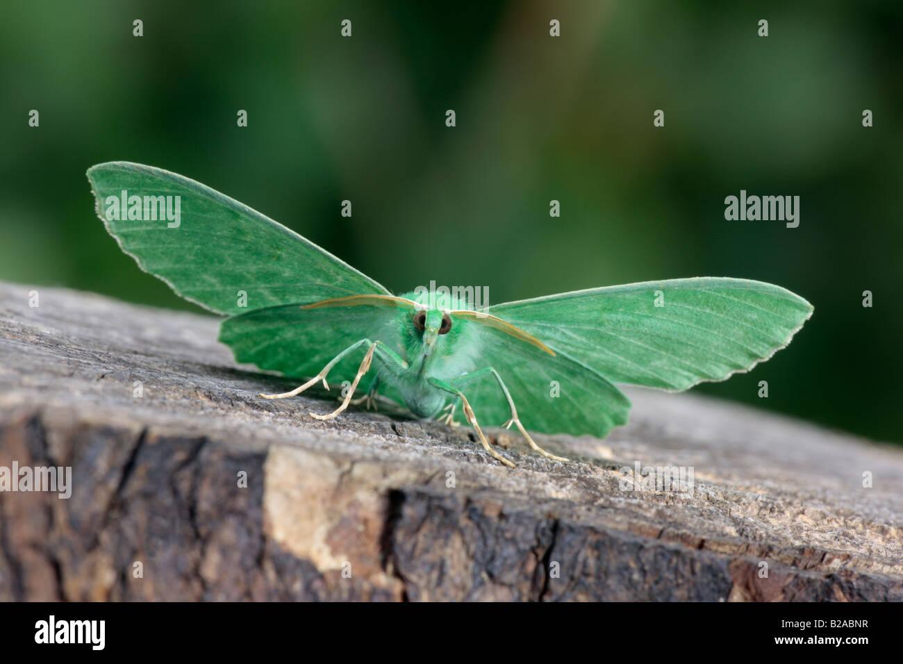 Großer Smaragd Geometra Papilionaria auf Log Potton Bedfordshire Stockbild