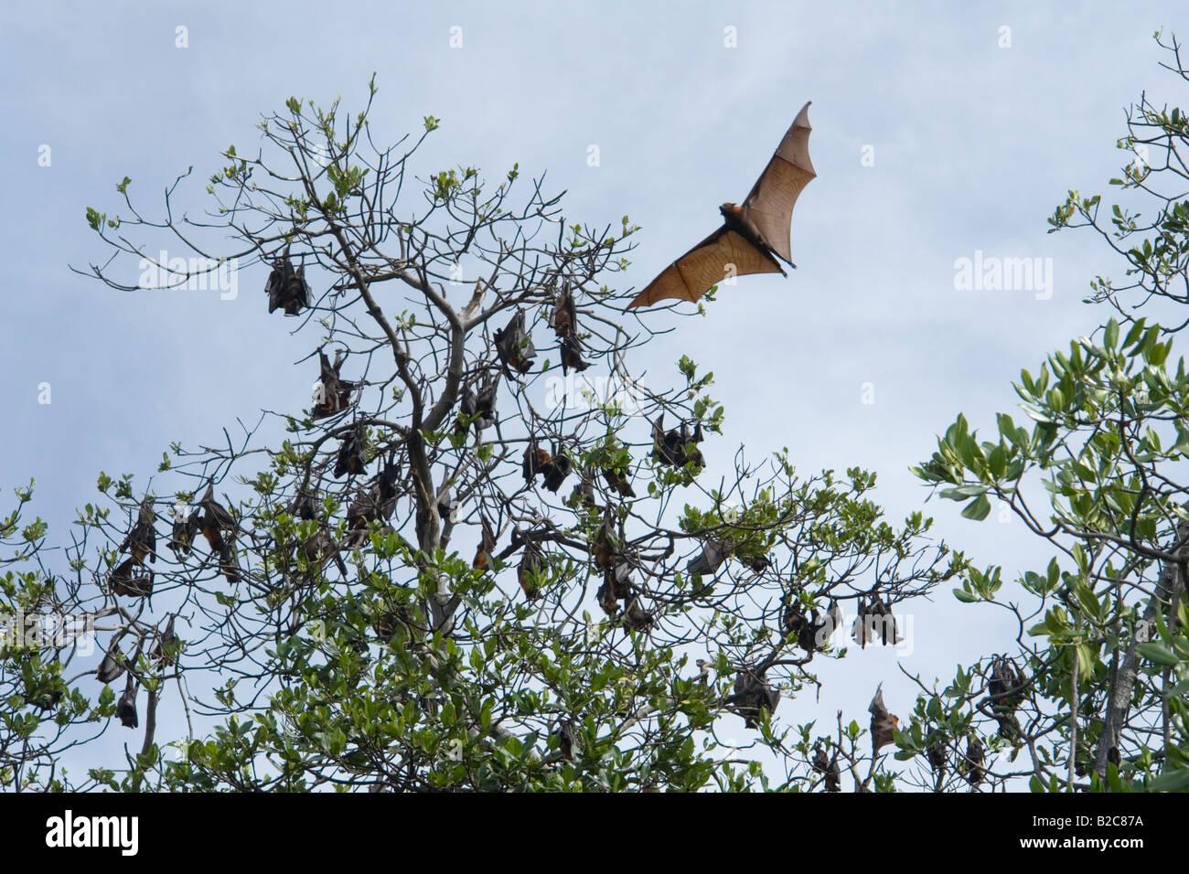 Eine Kolonie von Flughunde in Ontoloe Insel. Flores - Indonesien. La ...