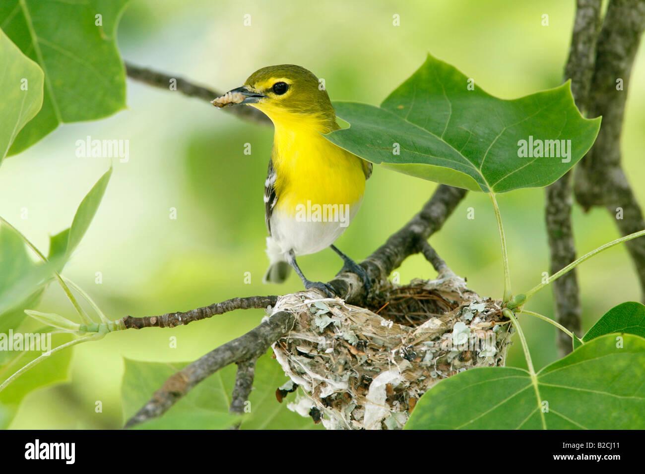 Yellow throated Vireo am Nest in Tulpenbaum Stockbild