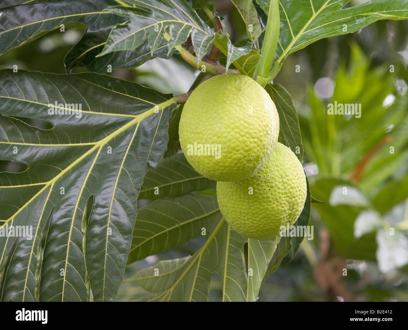 Nahaufnahme von Brotfrucht wächst an einem Baum auf einer Plantage in der Karibik Stockbild