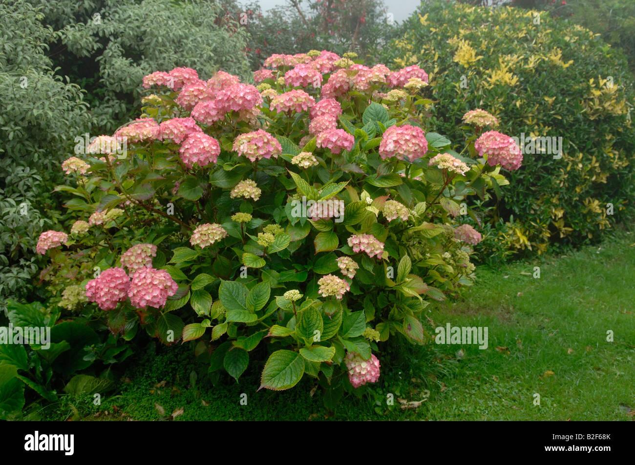 Rote Hortensie Blütenstrauch zeigen Chlorosen durch Kalk verursacht induzierte Fe Eisenmangel Stockbild