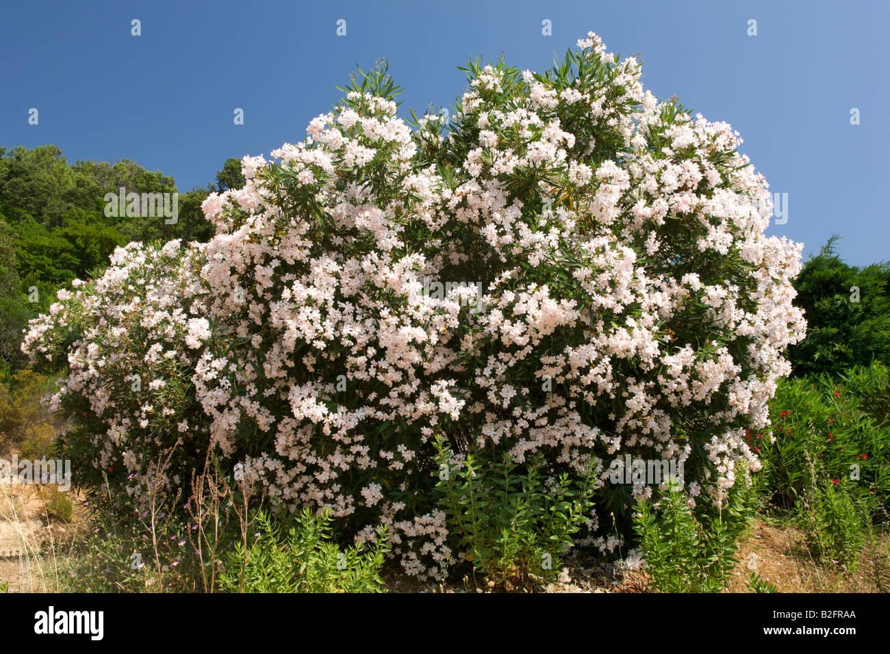 Oleander (Nerium Oleander) Busch in Korsika. Stockfoto