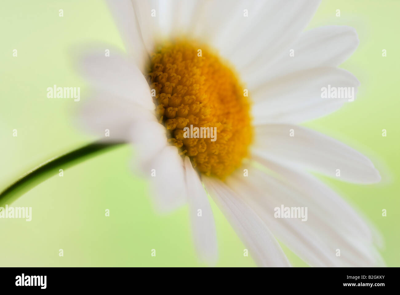 Oxeye Daisy Leucanthemum Vulgare blühende Pflanze Blüte Blüte blüht noch Standbilder Hintergrund Stockbild