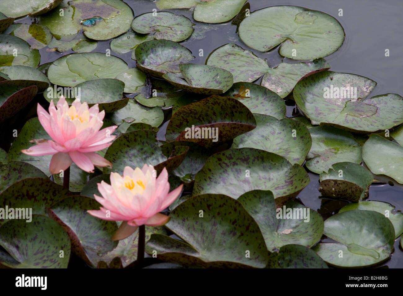 Wasser-Lilien Stockbild