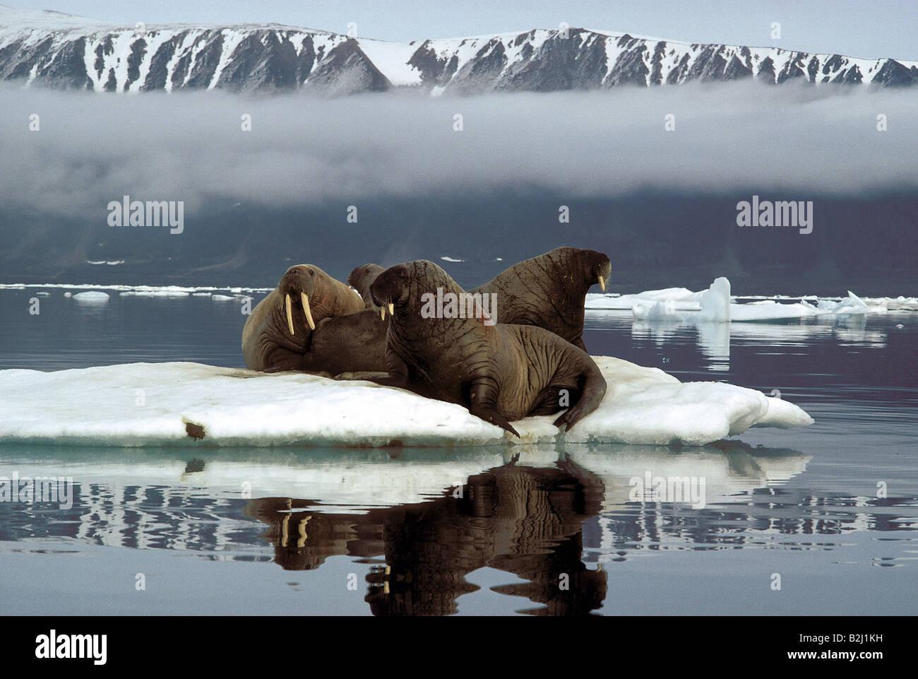 Zoologie / Tiere, Säugetier / Säugetier-, Robben, Walrosse, polar Walross (Odobenus Rosmarus), Walrosse, liegend Stockfoto