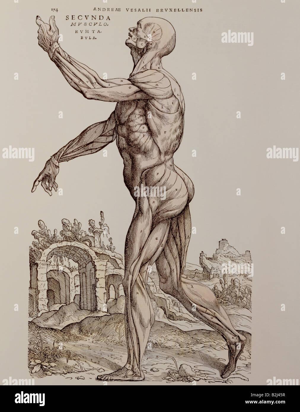 Medizin, Anatomie, Muskeln, Holzschnitt, \