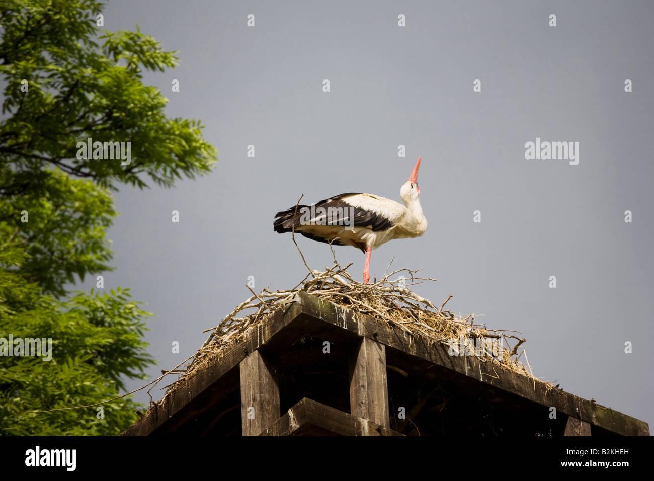 Ein Storch auf seinem nest Stockbild