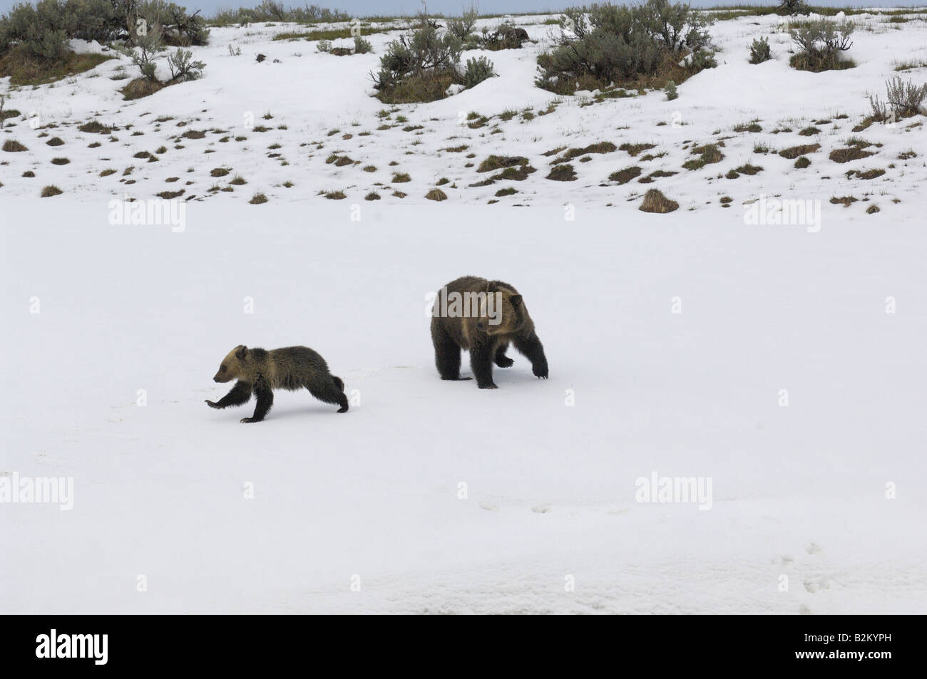 Grizzly Bären spielen im Schnee Stockbild