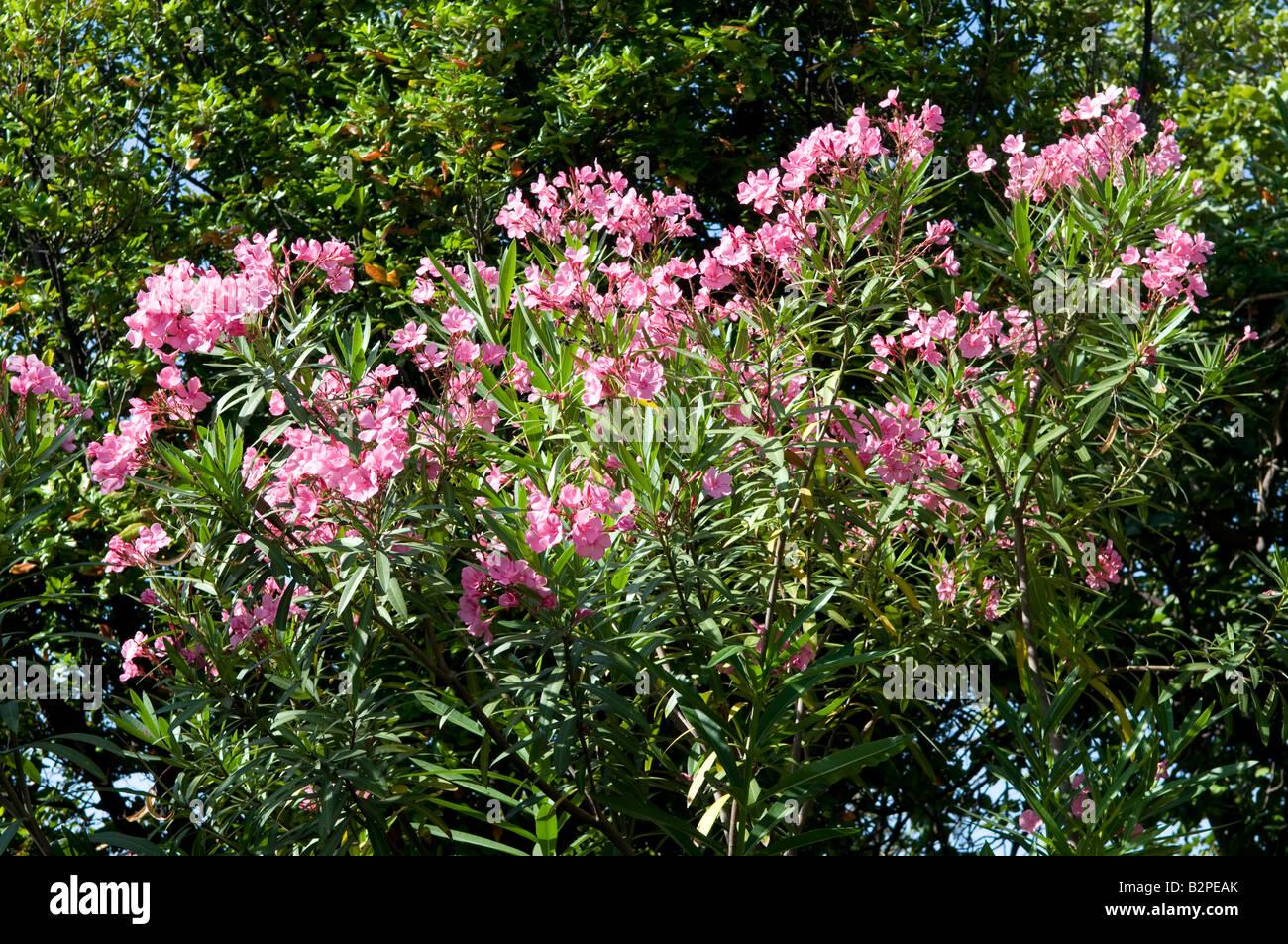 Rosa Lilien lilium Stockbild