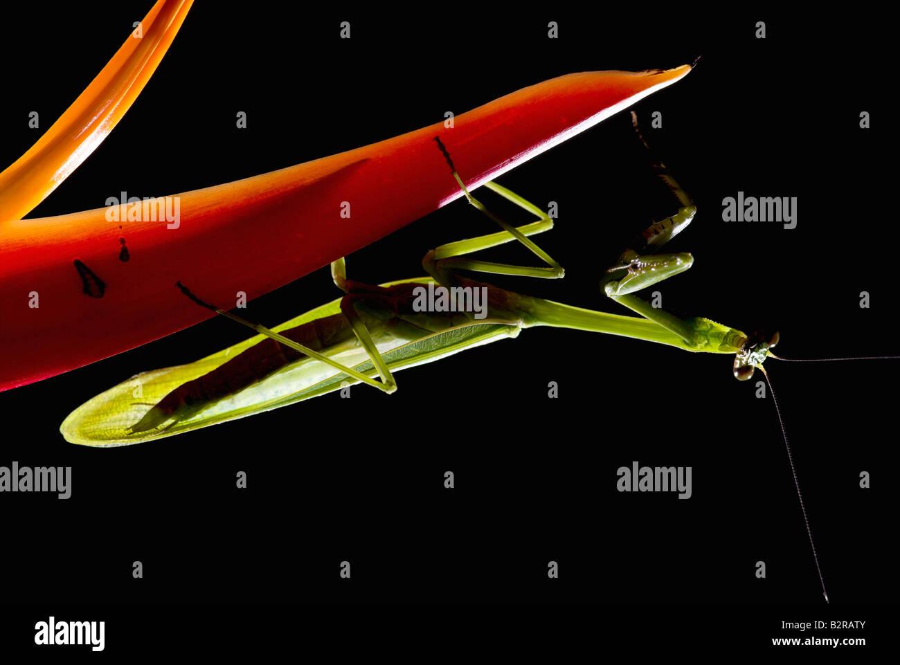 Praying Mantis FamilyMantidae costarica Stockbild
