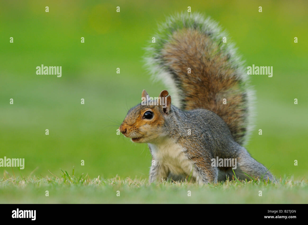 tree rat stockfotos tree rat bilder alamy. Black Bedroom Furniture Sets. Home Design Ideas