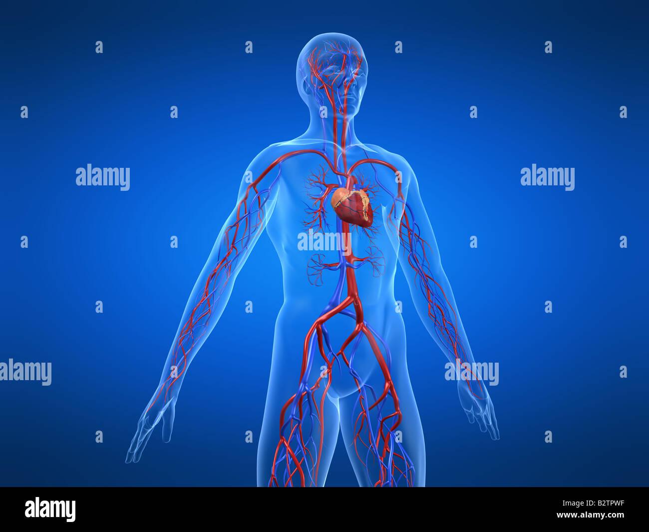 Charmant Herz Kreislauf System Organe Und Funktionen Zeitgenössisch ...