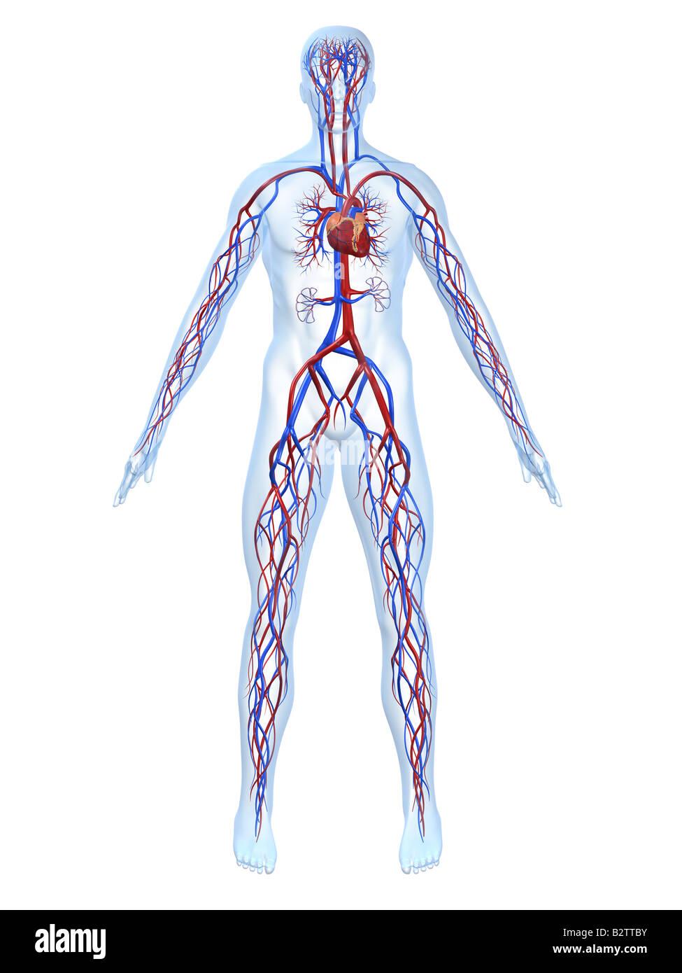 Charmant Diagramm Von Herz Kreislauf System Fotos - Menschliche ...