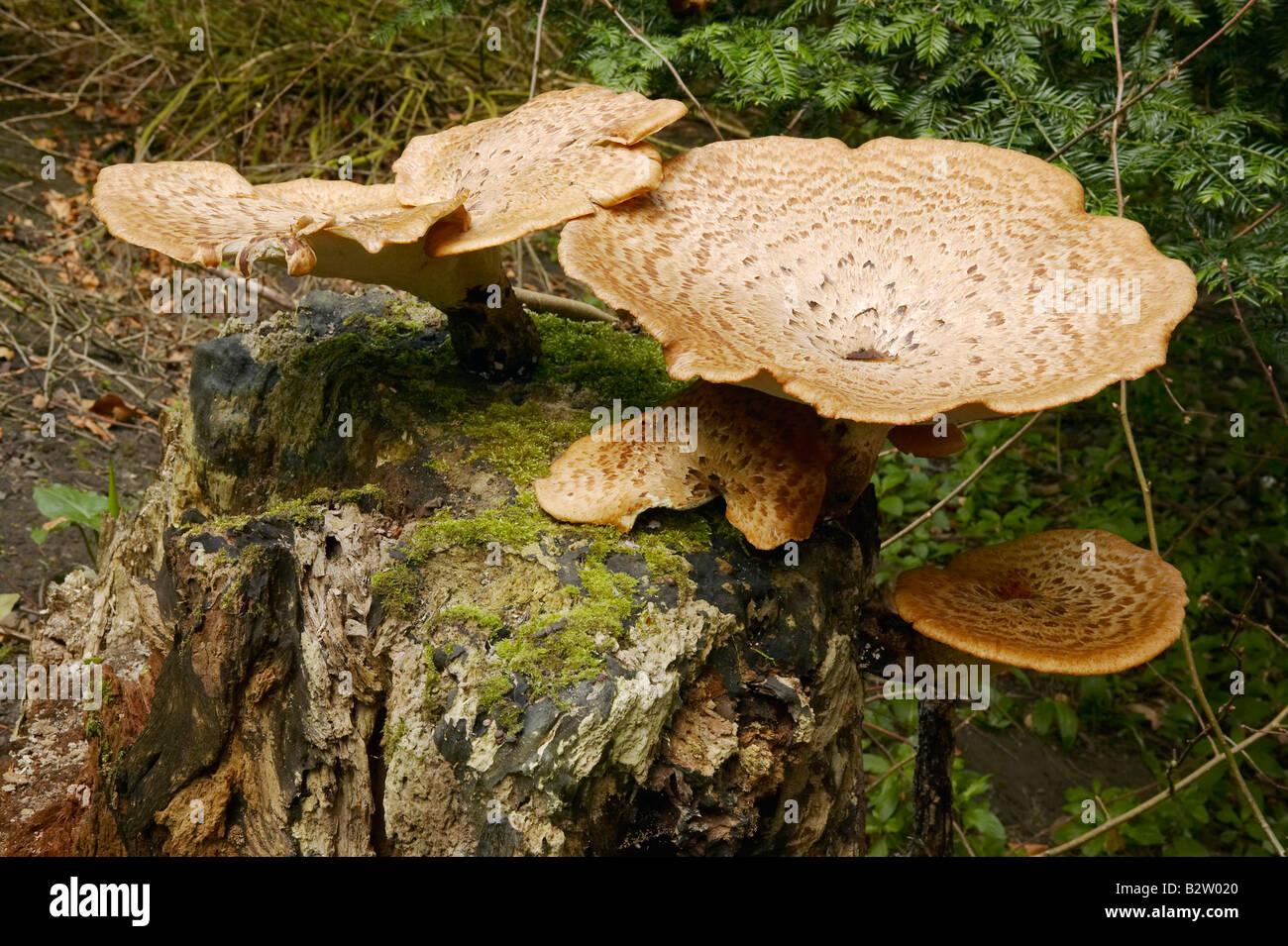 Die Dryade Sattel Pilze wachsen auf verfallenden Baumstamm fotografiert in Northumberland im Mai Stockbild