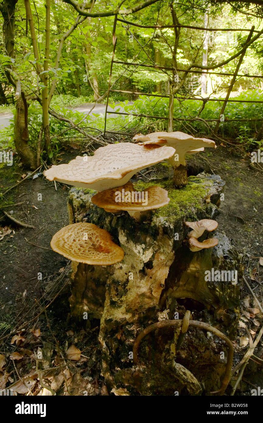 Die Dryade Sattel Pilze wachsen auf einem toten Baumstamm fotografiert in Northumberland im Mai Stockbild