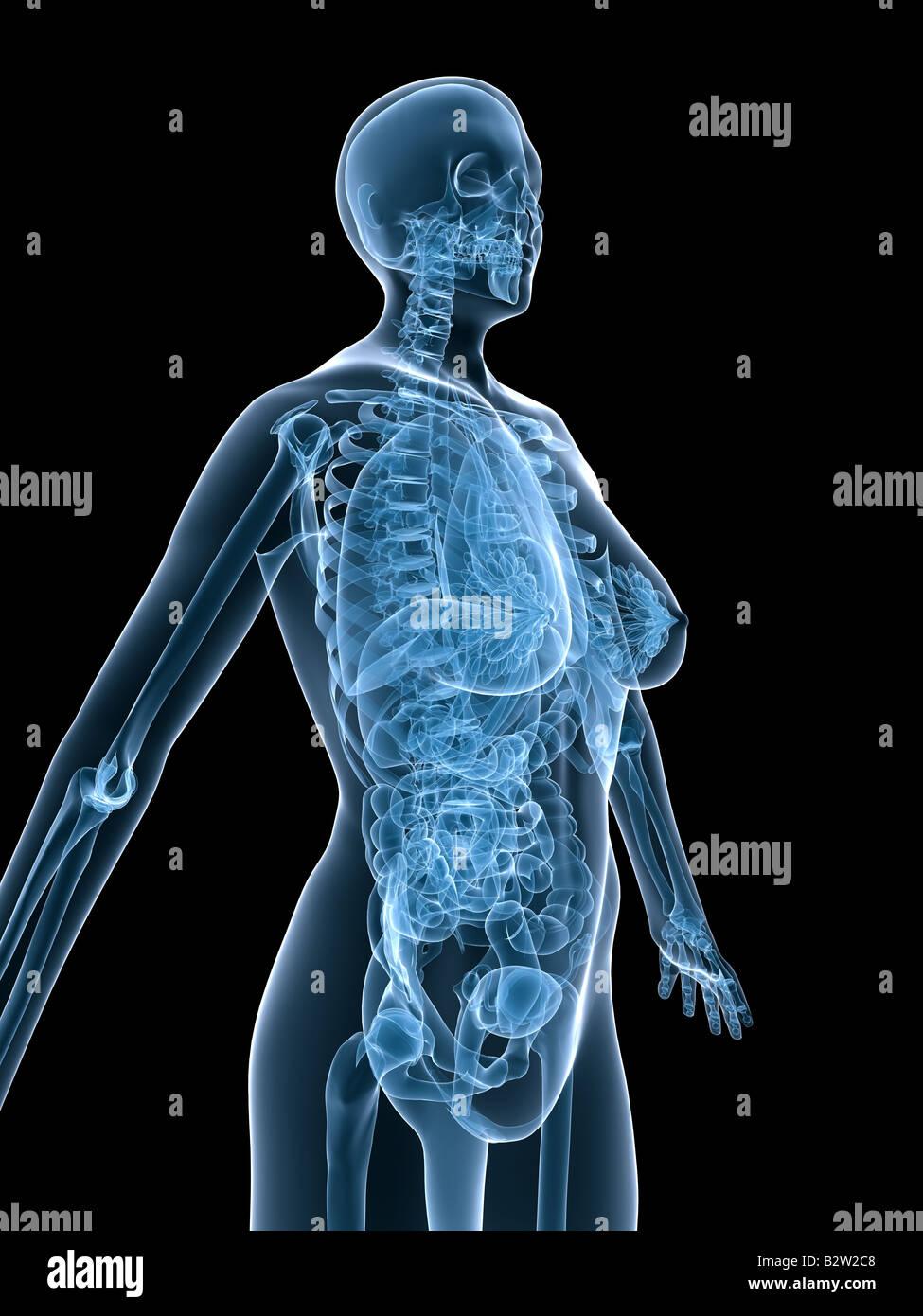 weibliche Anatomie Stockfoto, Bild: 18990392 - Alamy