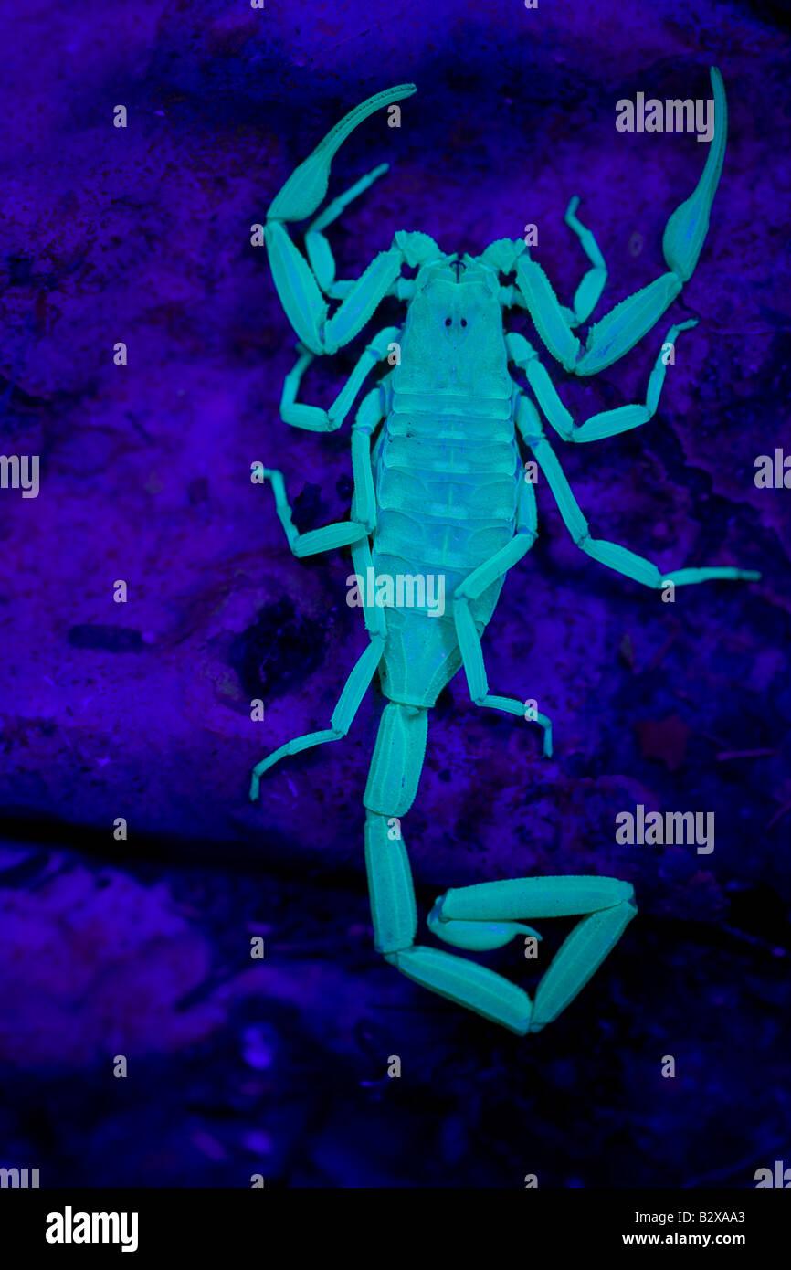 Skorpion (Centruroides Exilicauda) Bilder aus dem Monat unter UV-Licht - Arizona - USA - Kletterer - Rinde Stockbild