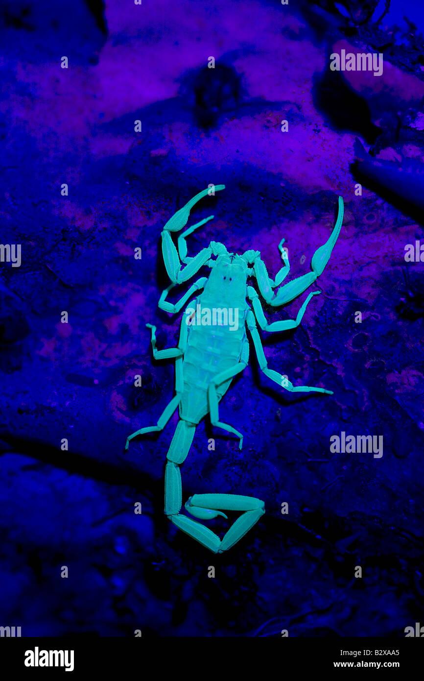 Bark Scorpion (Centruroides Exilicauda) fotografiert unter UV Licht - Arizona - USA Kletterer- Stockbild