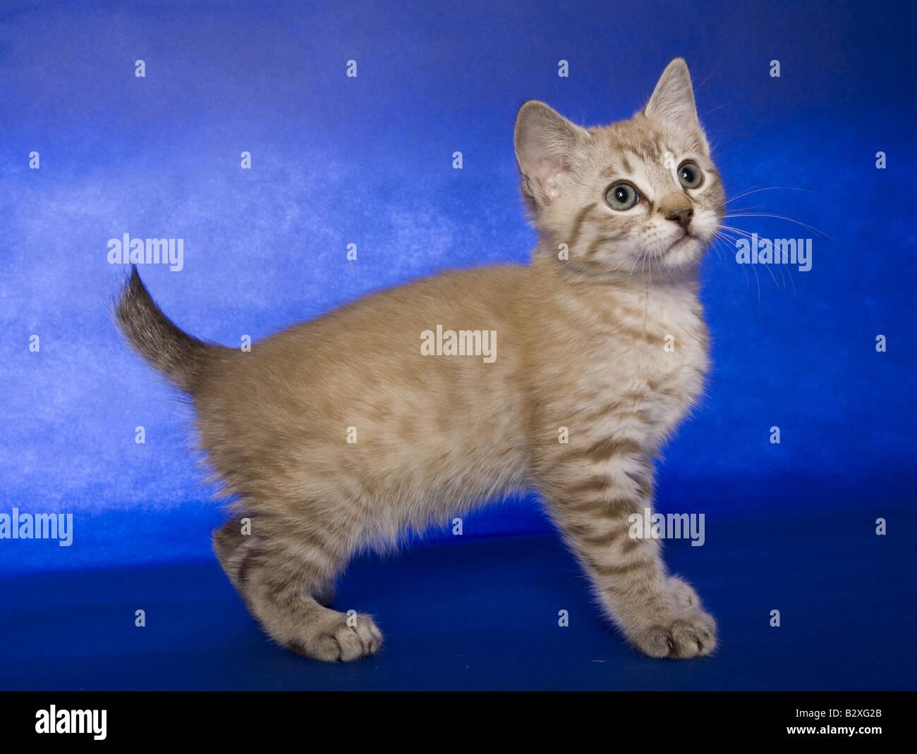 entzückende Bobtail Kätzchen stehend Sideview auf blauem Hintergrund Stockbild