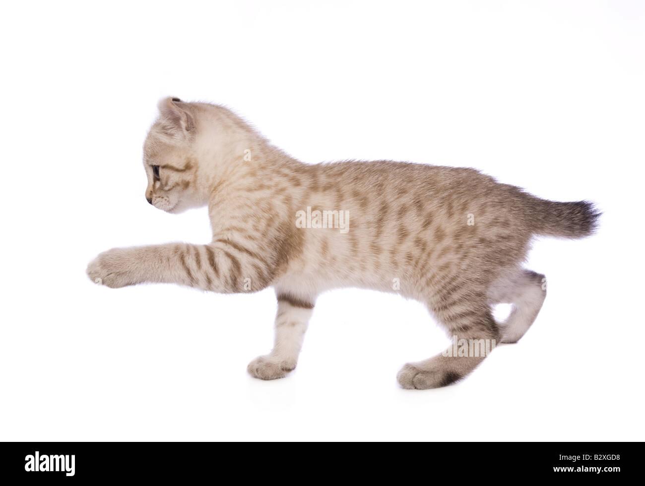 Süße Bobtail Kätzchen spielt mit Pfote, Sideview isoliert auf weißem Hintergrund Stockbild