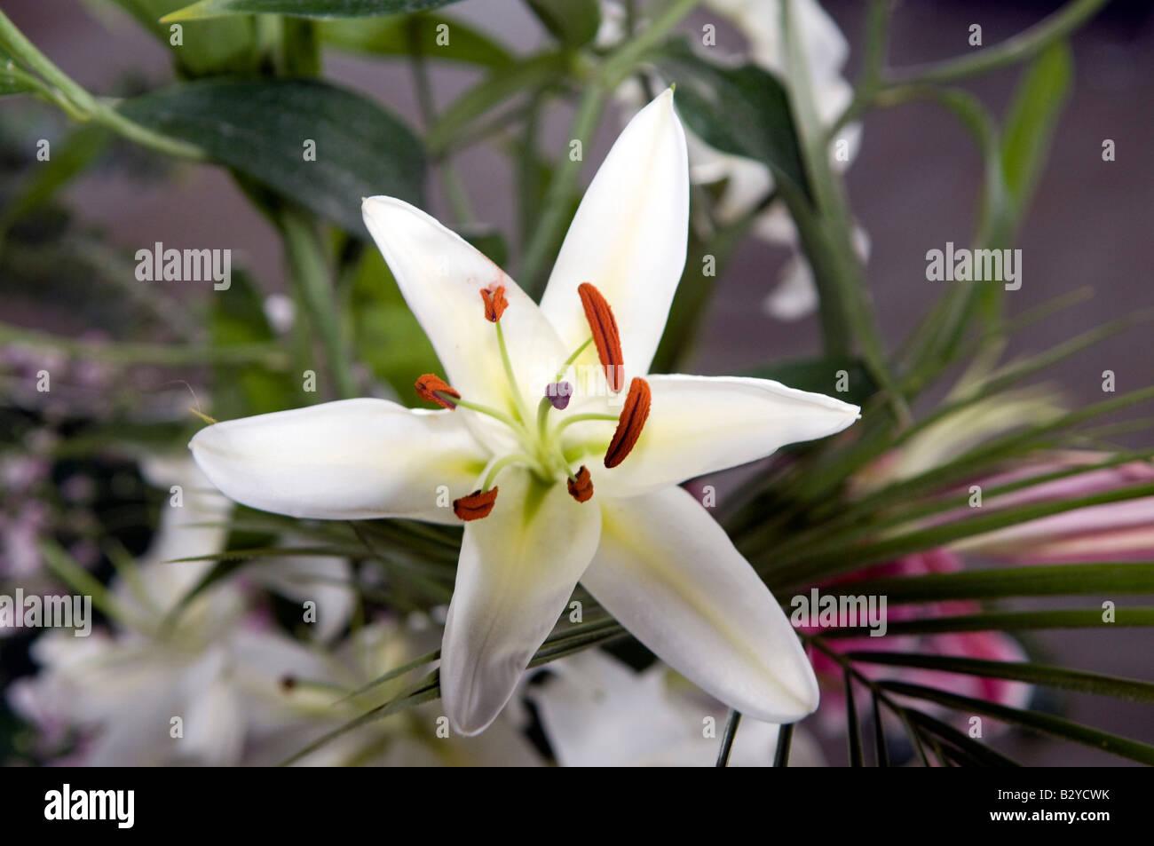 Lilien lilium Stockbild