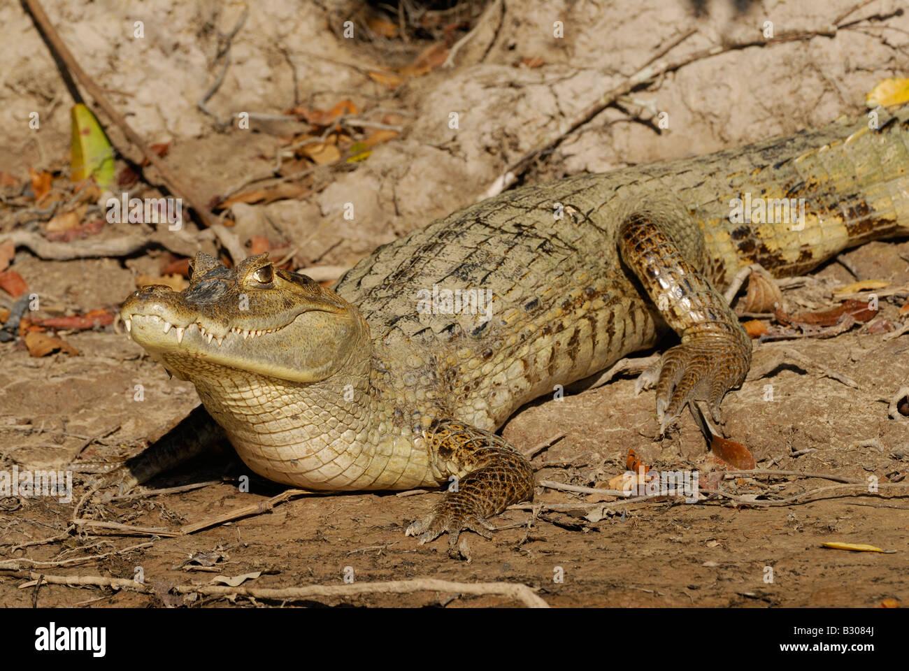 Gemeinsamen Kaiman In Der Sonne Liegen Caiman Crocodilus Llanos