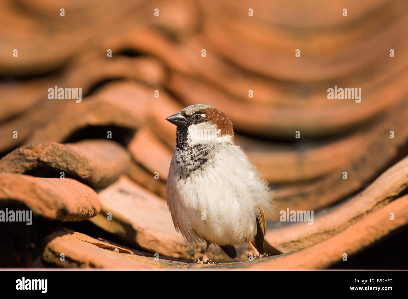 Haussperling Passer Domesticus auf Ziegeldach Norfolk Feder Stockfoto