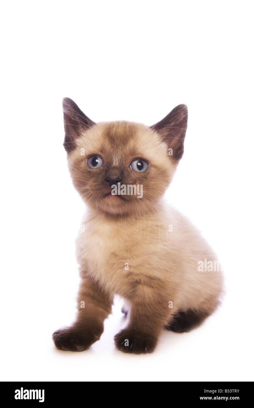 Süße Munchkin Kätzchen mit großen Kopf isoliert auf weißem Hintergrund Stockfoto