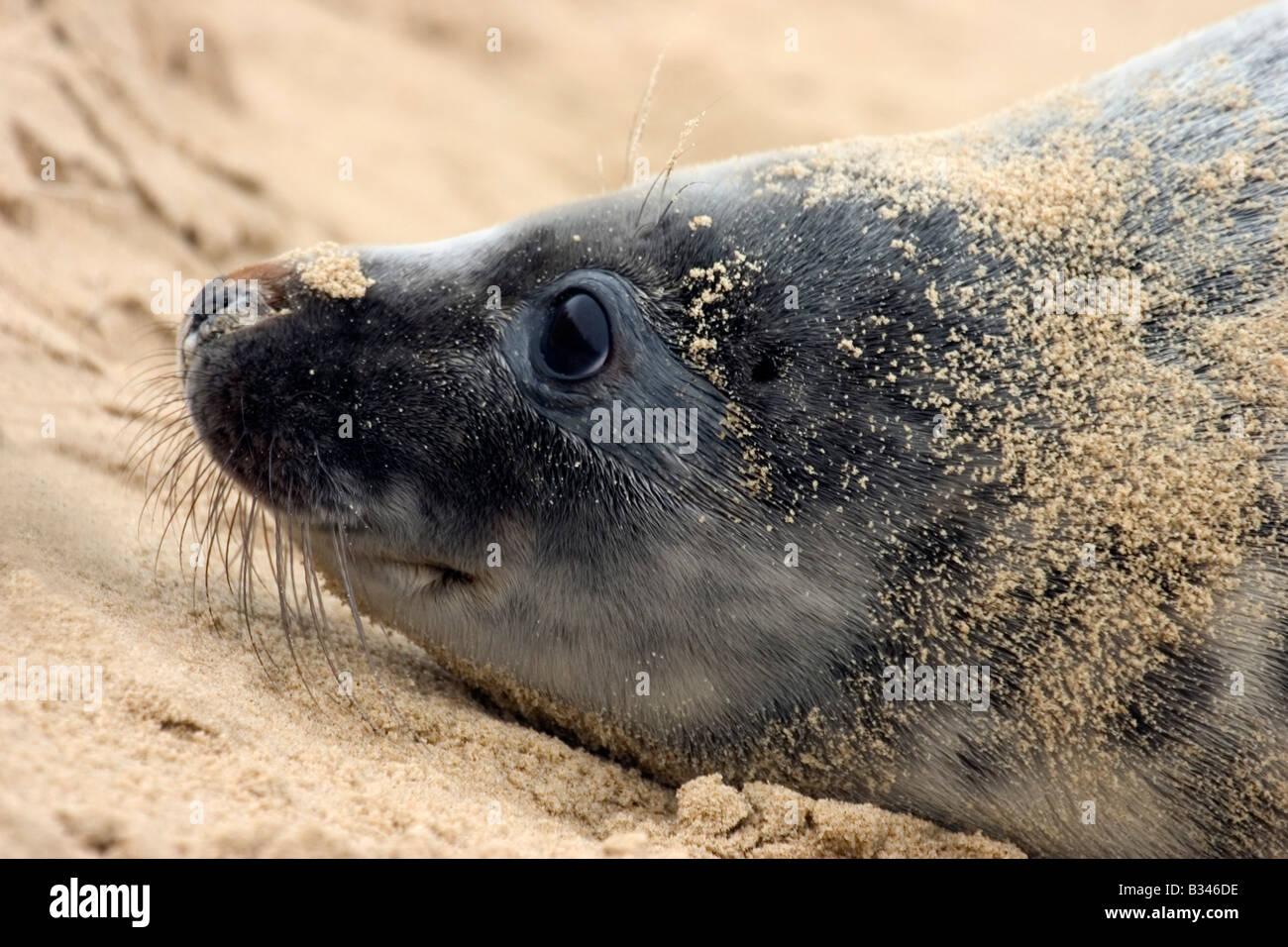 Grey Seal Pup am Strand, Porträt Stockbild
