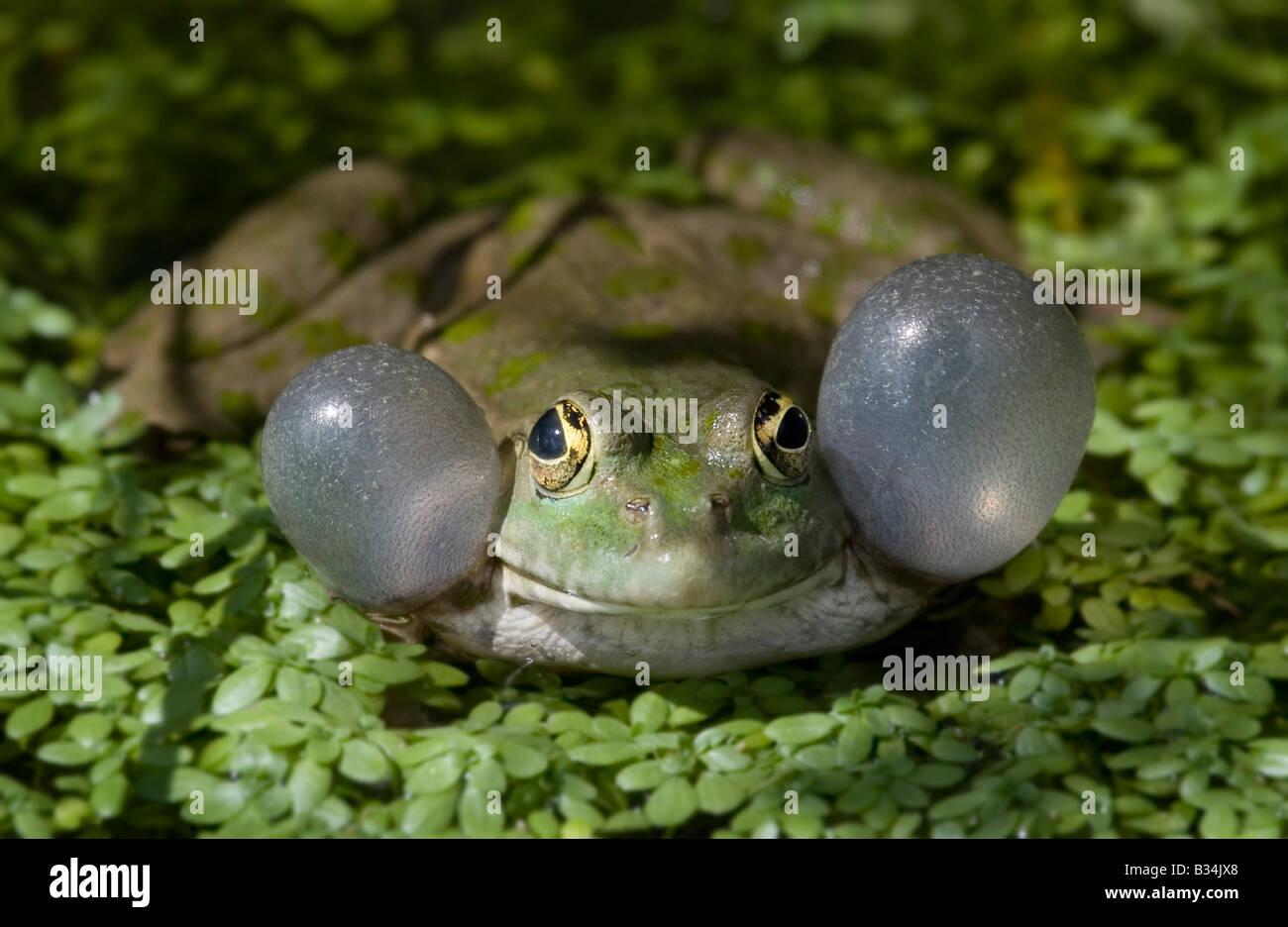 Berufung Seefrosch, portrait Stockbild