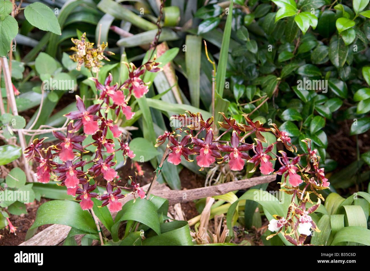 orchidee cattleya stockfoto bild 19173685 alamy. Black Bedroom Furniture Sets. Home Design Ideas