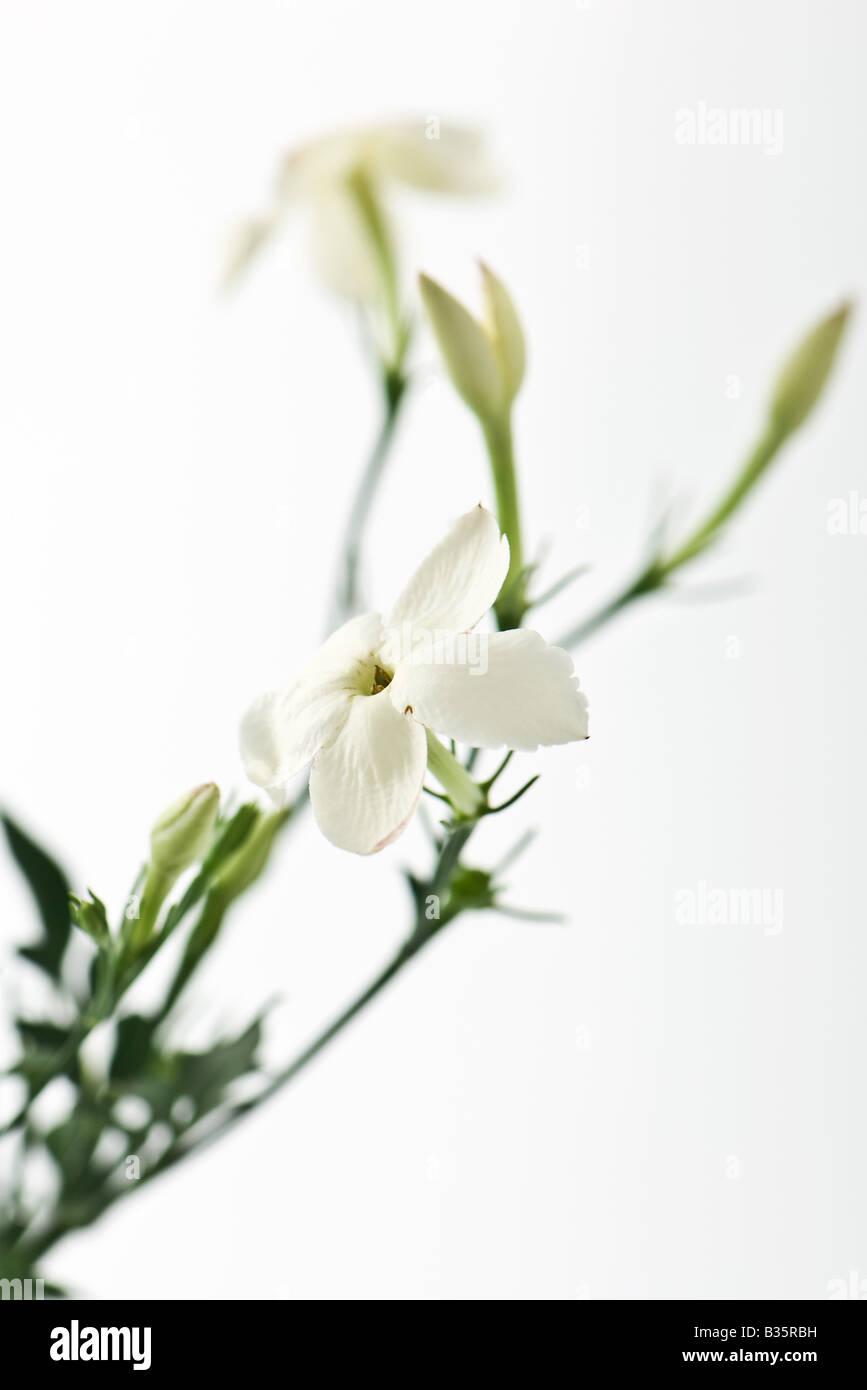 jasmine stockfotos jasmine bilder alamy. Black Bedroom Furniture Sets. Home Design Ideas