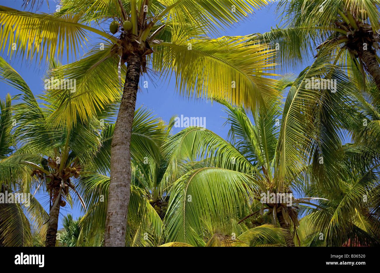 Nach oben auf einen Stand von Kokospalmen an einem Strand in der Karibik. Stockbild