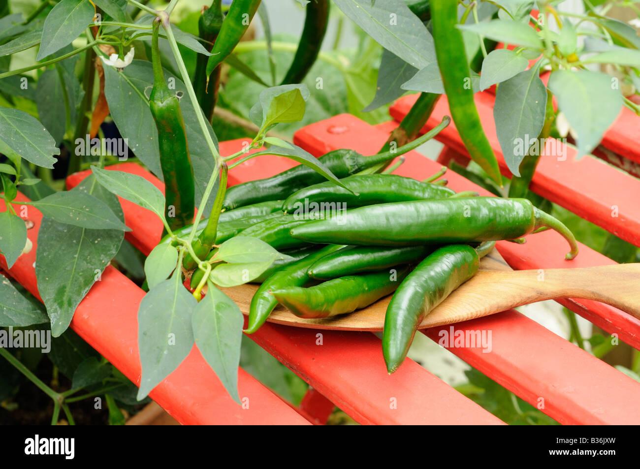 Chilischoten grünen Nach Hitzewelle angebauten Hause frisch DIW2EH9Y