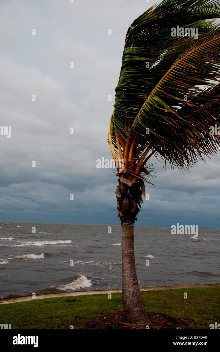 Eine Palme im Wind während der Tropensturm FAY SW Florida August 2008 Stockbild