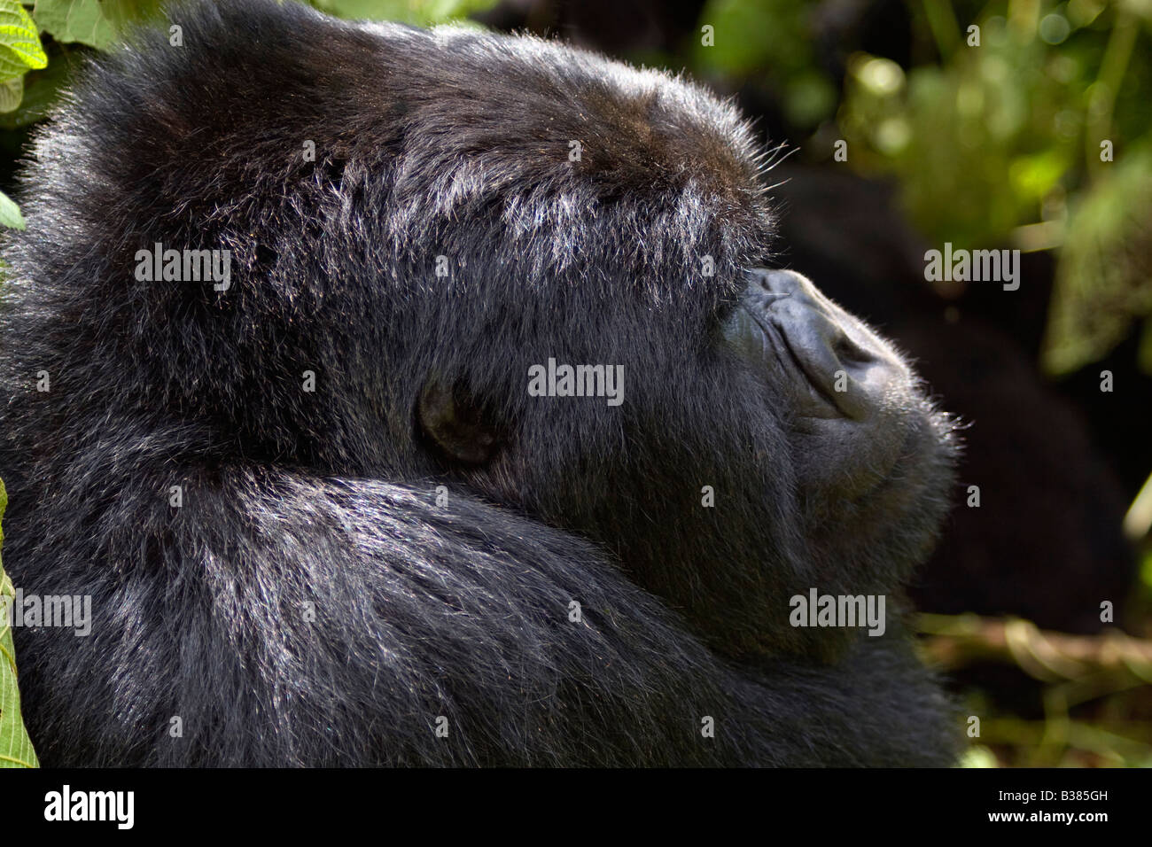 Eine männliche MOUNTAIN GORILLA Gorilla Beringei Beringei der KWITONDA Gruppe in Ruanda VOLCANES Nationalpark Stockbild