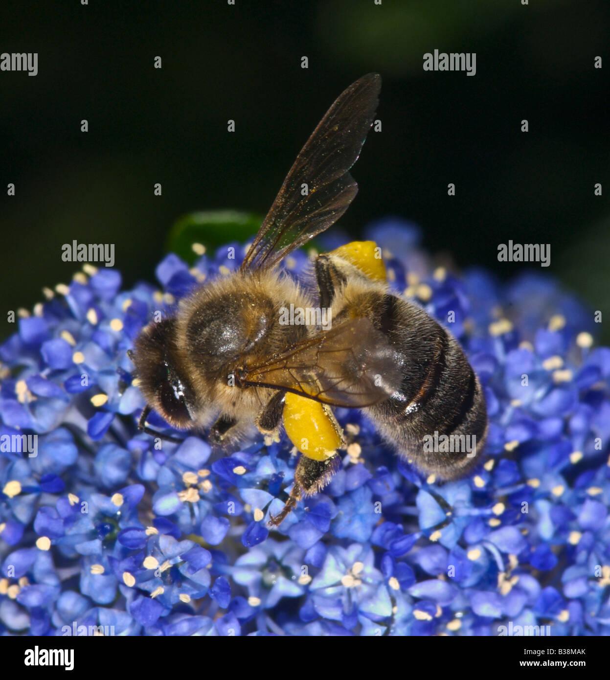 Honigbienen sammeln Nektar und Pollen Honigbiene Stockbild