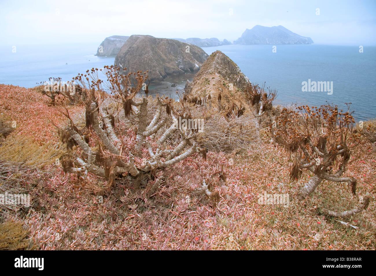 Baum Sonnenblumen- oder Giant Coreopsis Stockbild