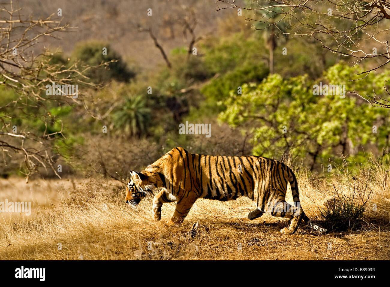 Wilden Bengal Tiger Stalking In Seinem Natürlichen Lebensraum