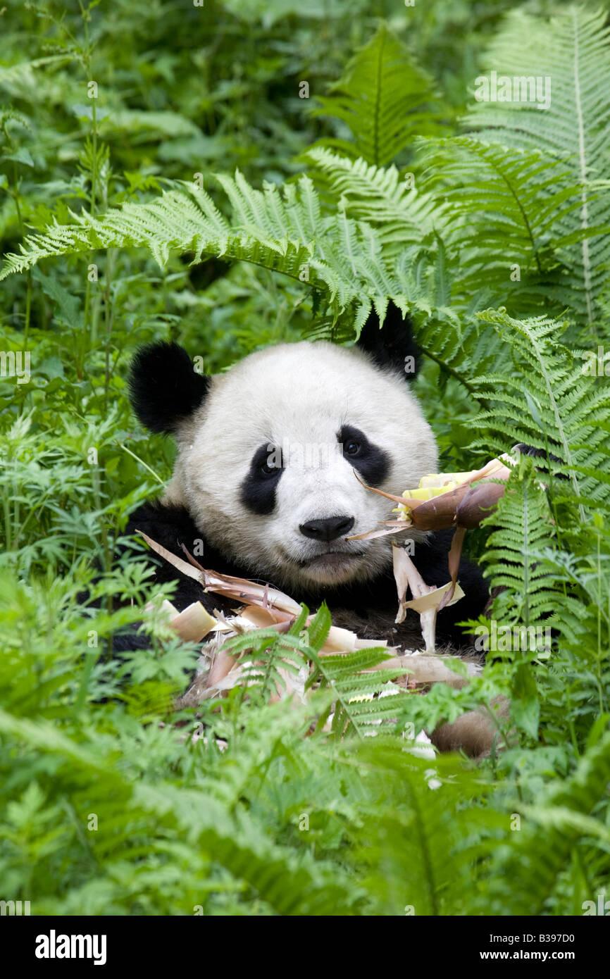 Giant Panda Bambus Wolong China Essen Stockfoto Bild 19257756 Alamy