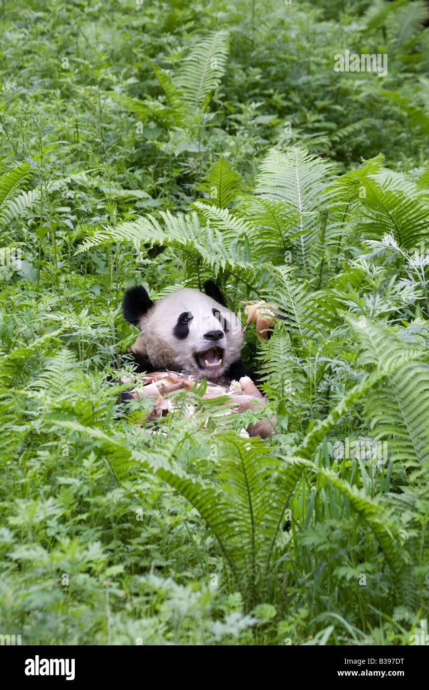Giant Panda Bambus Wolong China Essen Stockfoto Bild 19257780 Alamy