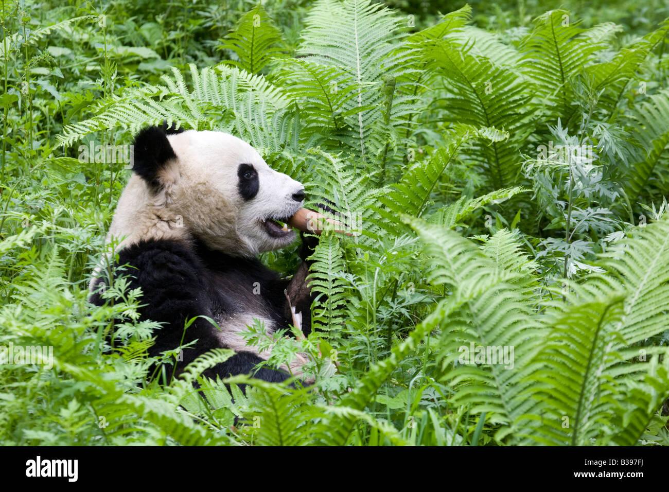 Giant Panda Bambus Wolong China Essen Stockfoto Bild 19257830 Alamy