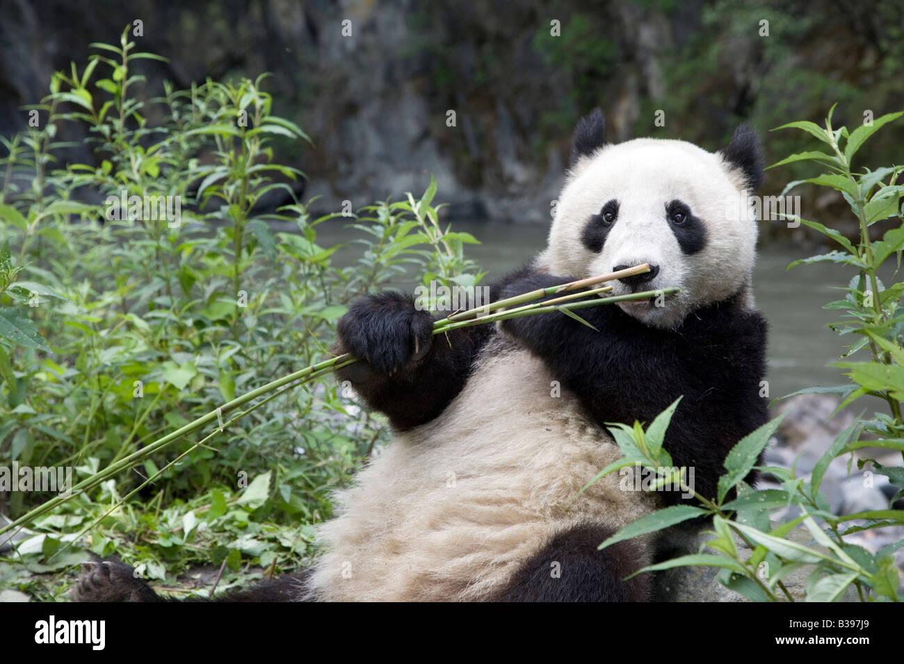 Grosser Panda Ailuropoda Melanoleuca Essen Bambus Neben Bach Im