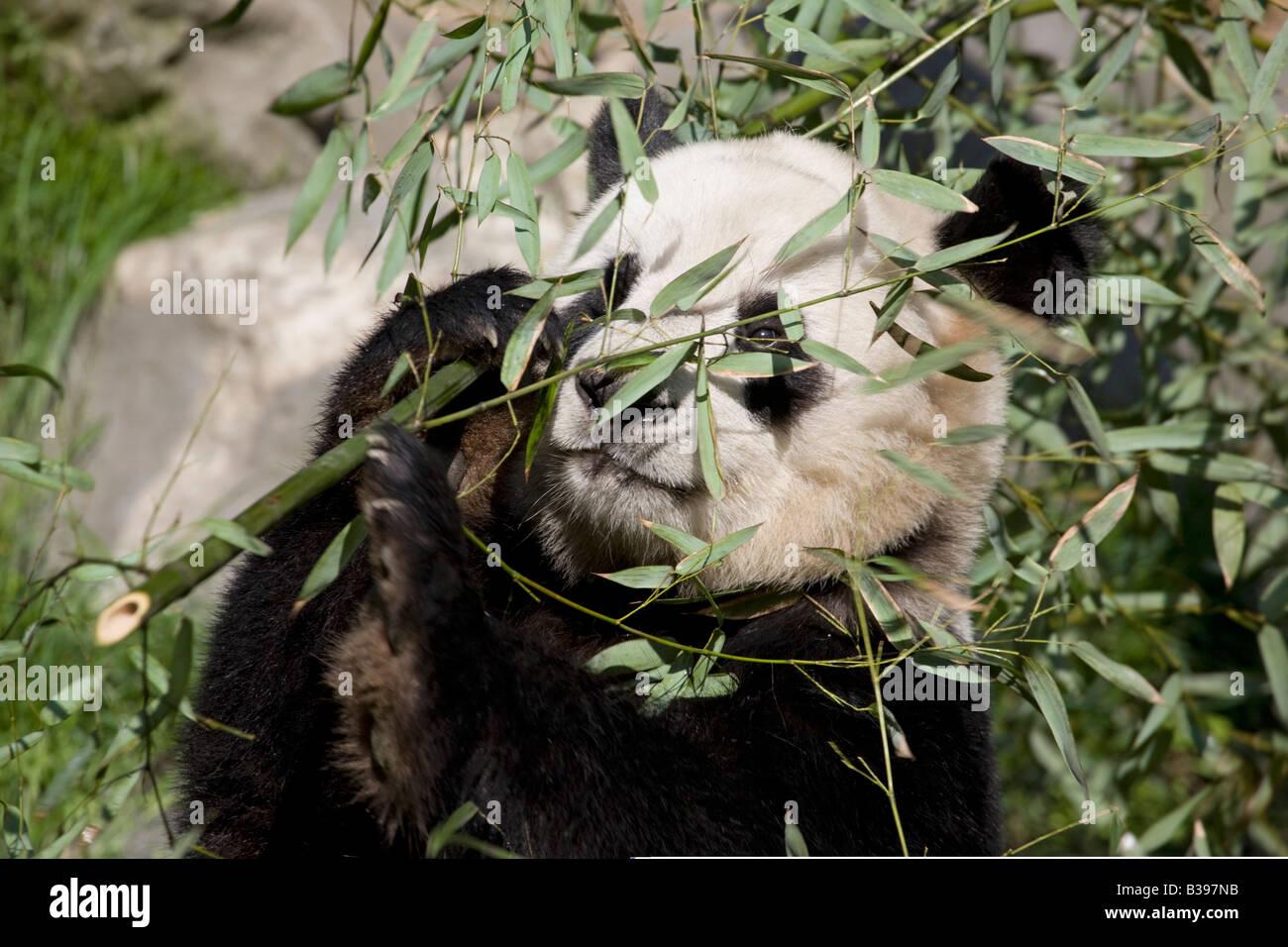 Giant Panda Bambus Wolong China Essen Stockfoto Bild 19257991 Alamy