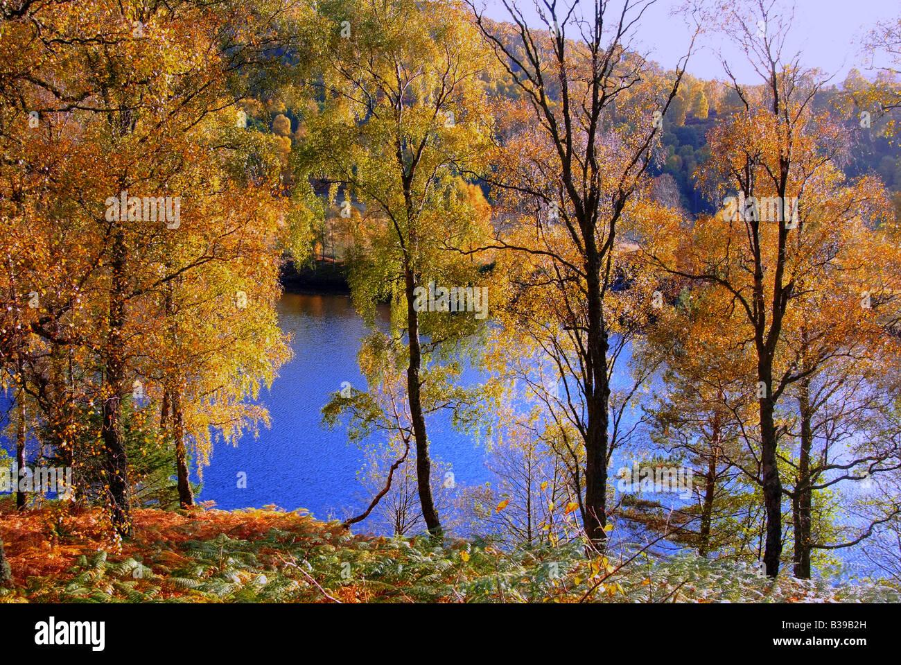 UK Schottland Tayside Perthshire Silber Birken im Herbst Loch tummel Stockbild
