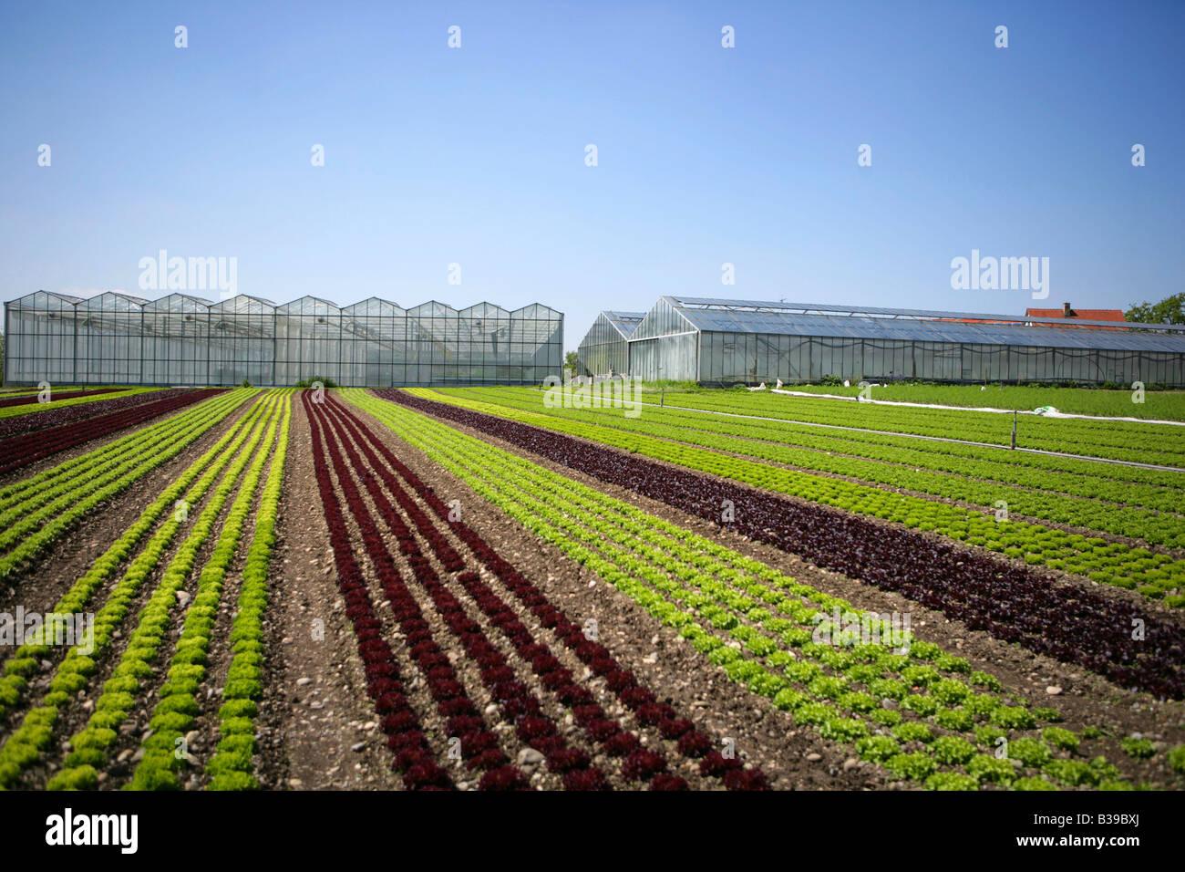 Deutschland, Bodensee, Salatfelder Auf der Insel Reichenau, Salat-Felder auf die Insel Reichenau am Bodensee Stockbild